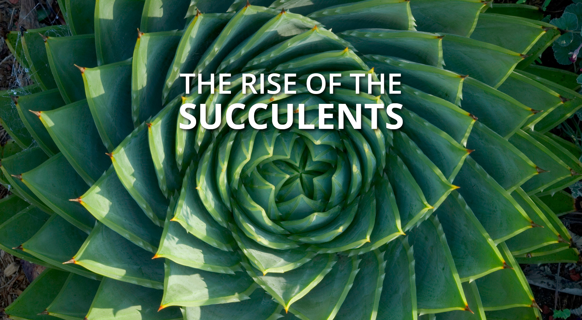 The Rise of The Succulents