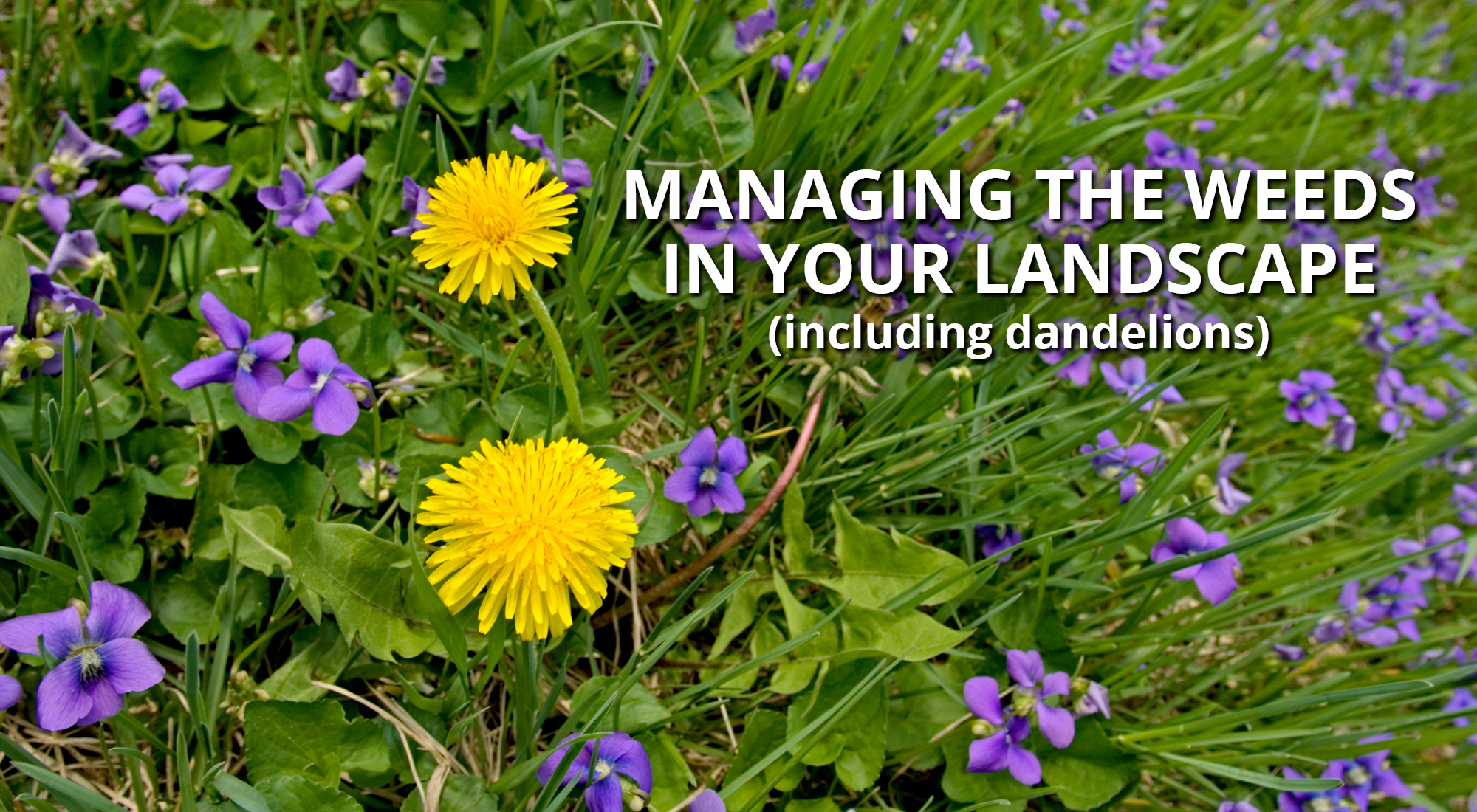Managing Weeds in your Lawn and Landscape