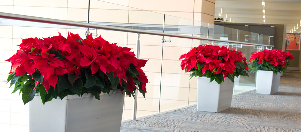 Poinsettias line an office hallway.
