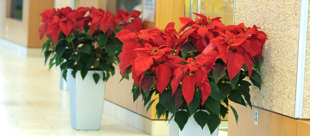 Poinsettias marking entrance to office in hospital.