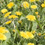 Managing Weeds in Your Lawn and Landscape (Including Dandelions)
