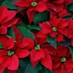 Poinsettias: Our Favorite Christmas Plant