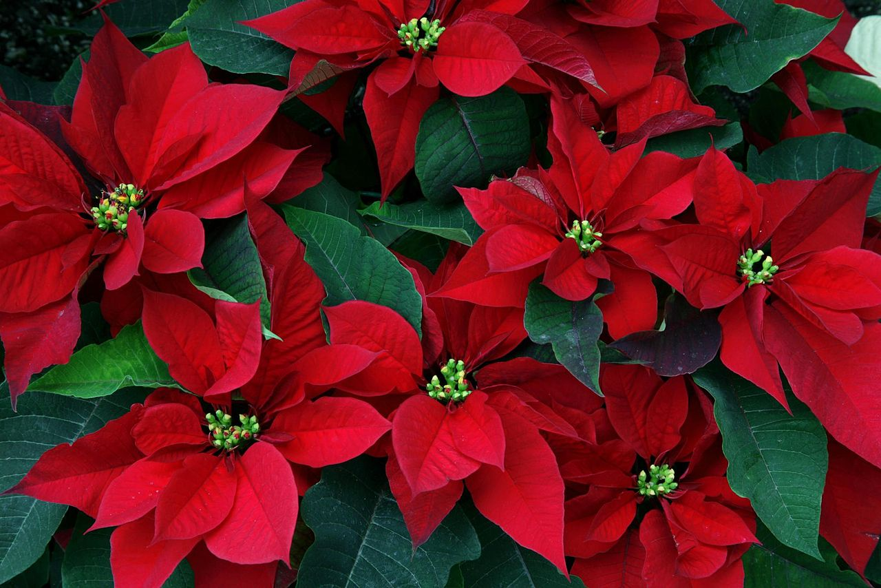 or red poinsettia - photo #14