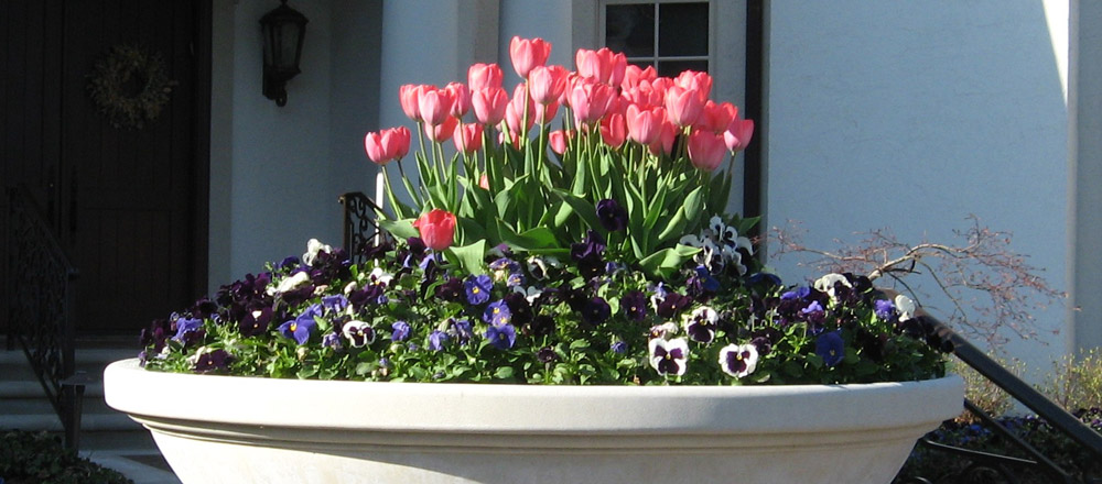 Spring flower container with tulips and pansies.