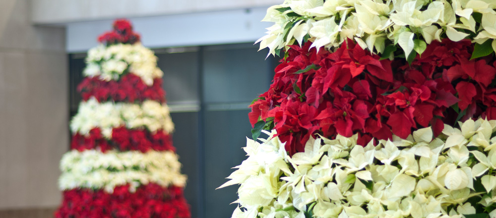 Poinsettia trees in commercial office space.
