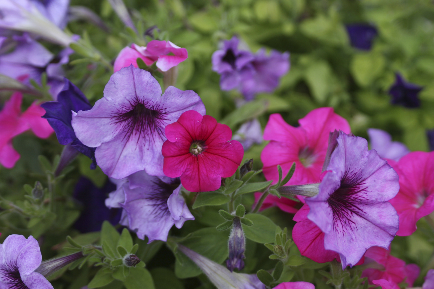 petunia - Common Purple Garden Flowers