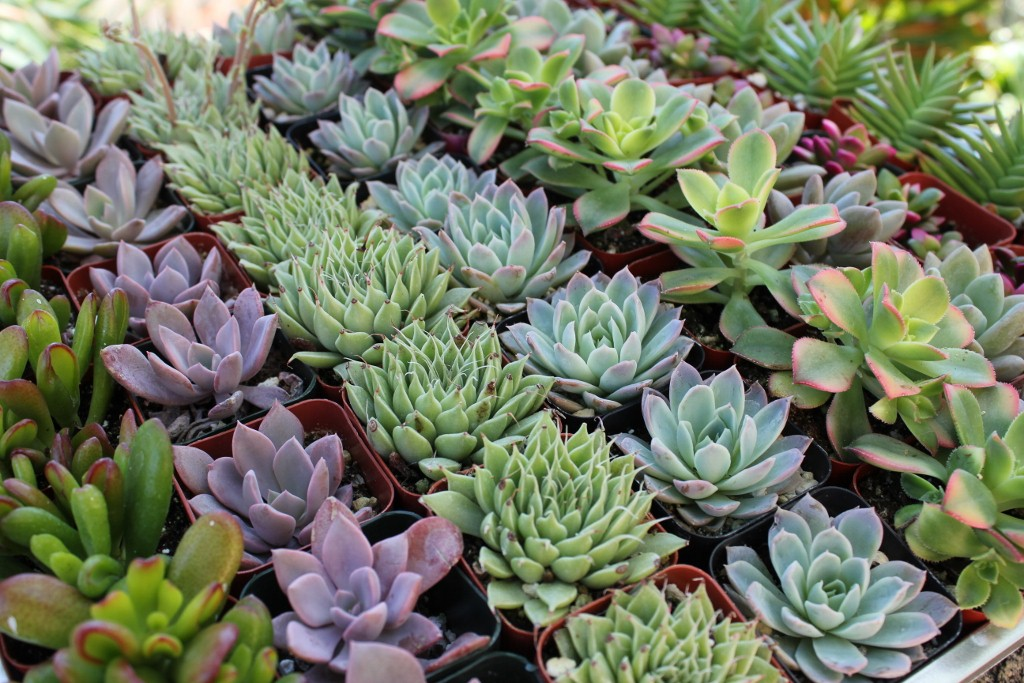 The rise of the succulent plants engledow group for Plantas ornamentales de guatemala
