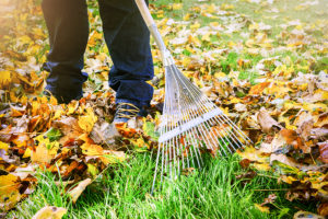 Raking leaves in the fall with a metal rake.