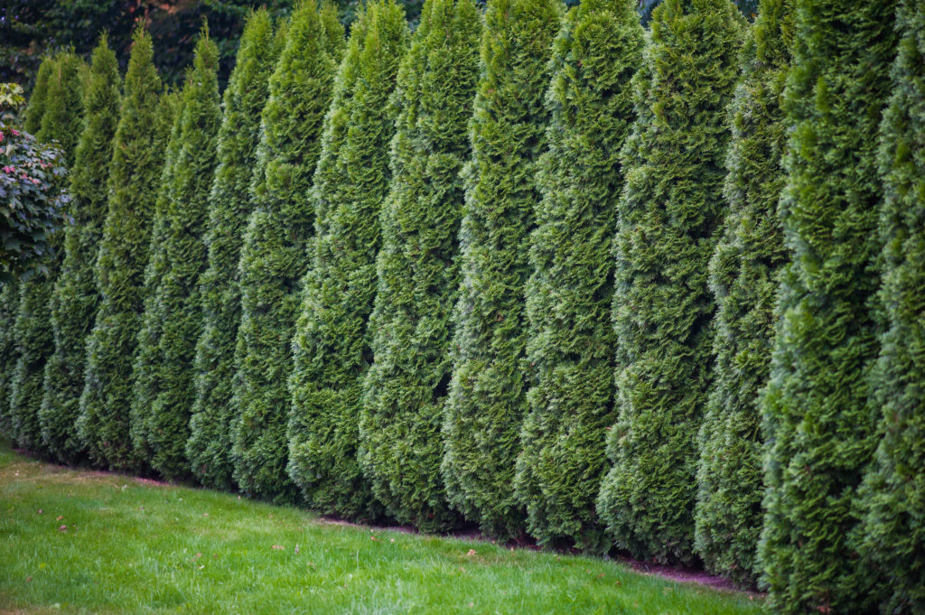 Creating A Natural Privacy Fence With Trees And Shrubs