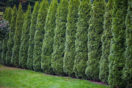 A row of arborvitae creates a natural fence
