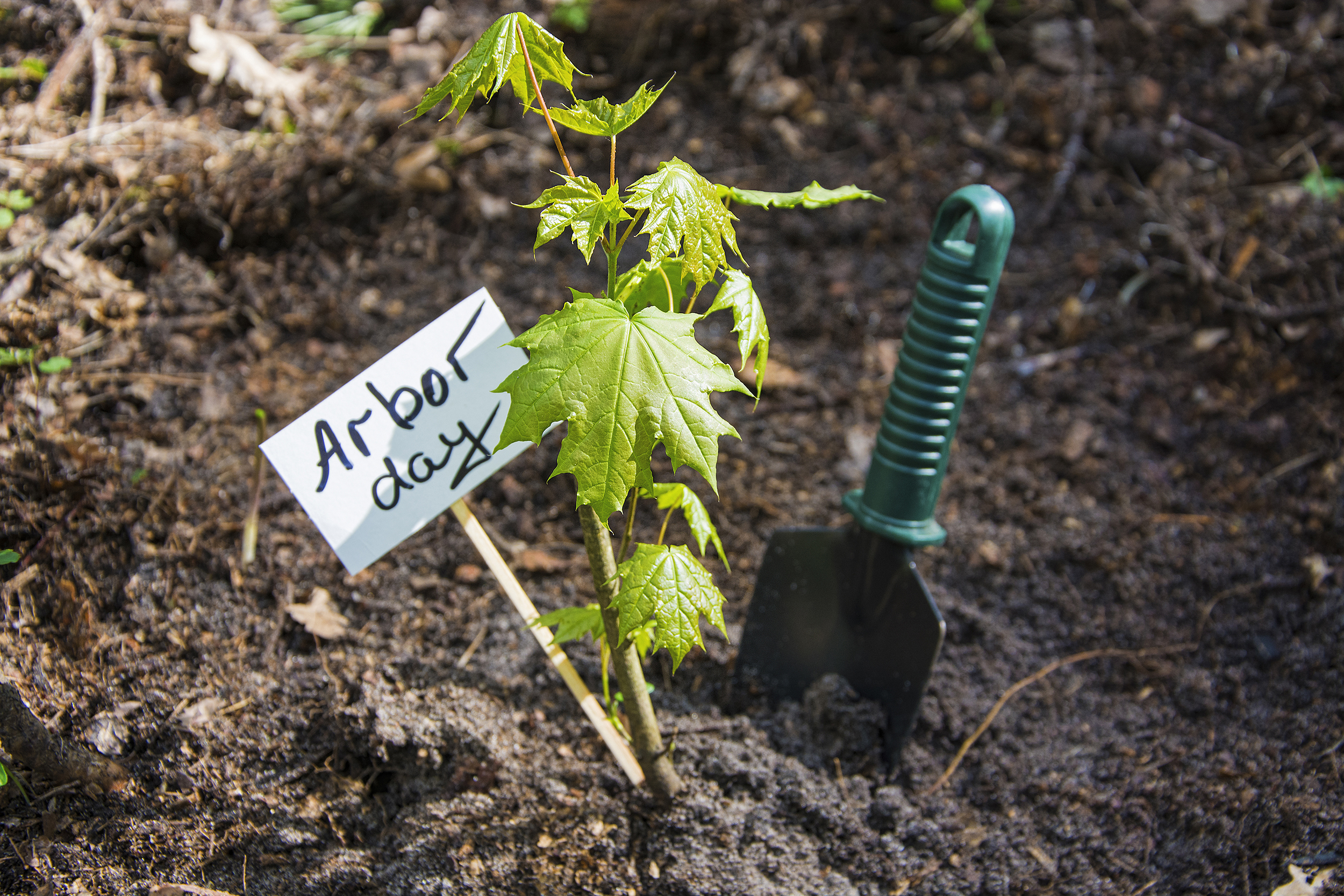 A freshly planted maple tree seedling with an Arbor Day sign next to it.