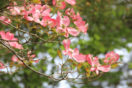 Close up of a flowering dogwood tree with pink blooms