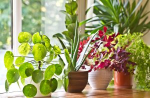 A variety of indoor plants sitting in a sunny window